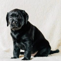 beautiful_black_labrador_puppy_dog_pwkm6jq