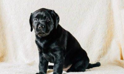 beautiful_black_labrador_puppy_dog_pwkm6jq