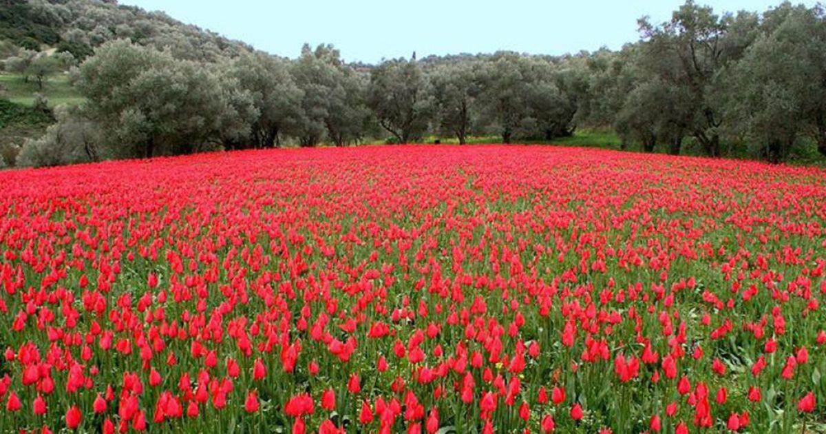 Λαλάδες: Οι τουλίπες που φυτρώνουν μόνο στη Χίο και πουθενά αλλού στον κόσμο