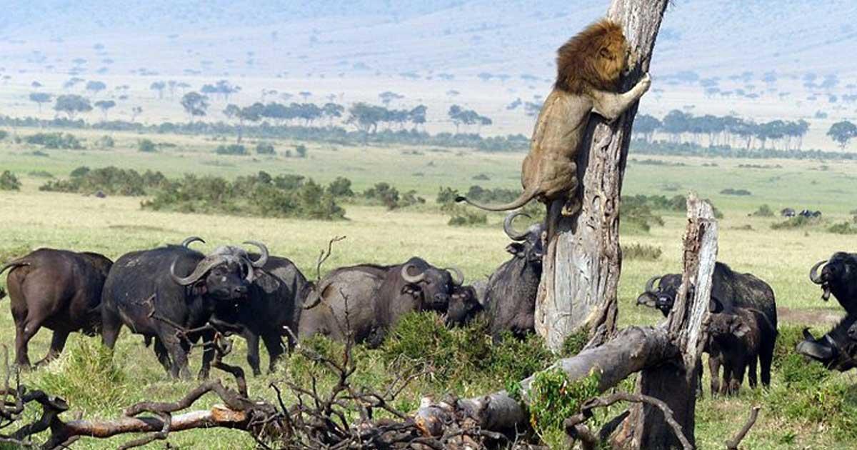 Το λιοντάρι που ανέβηκε πάνω σε ένα δέντρο για να σωθεί από τα βουβάλια