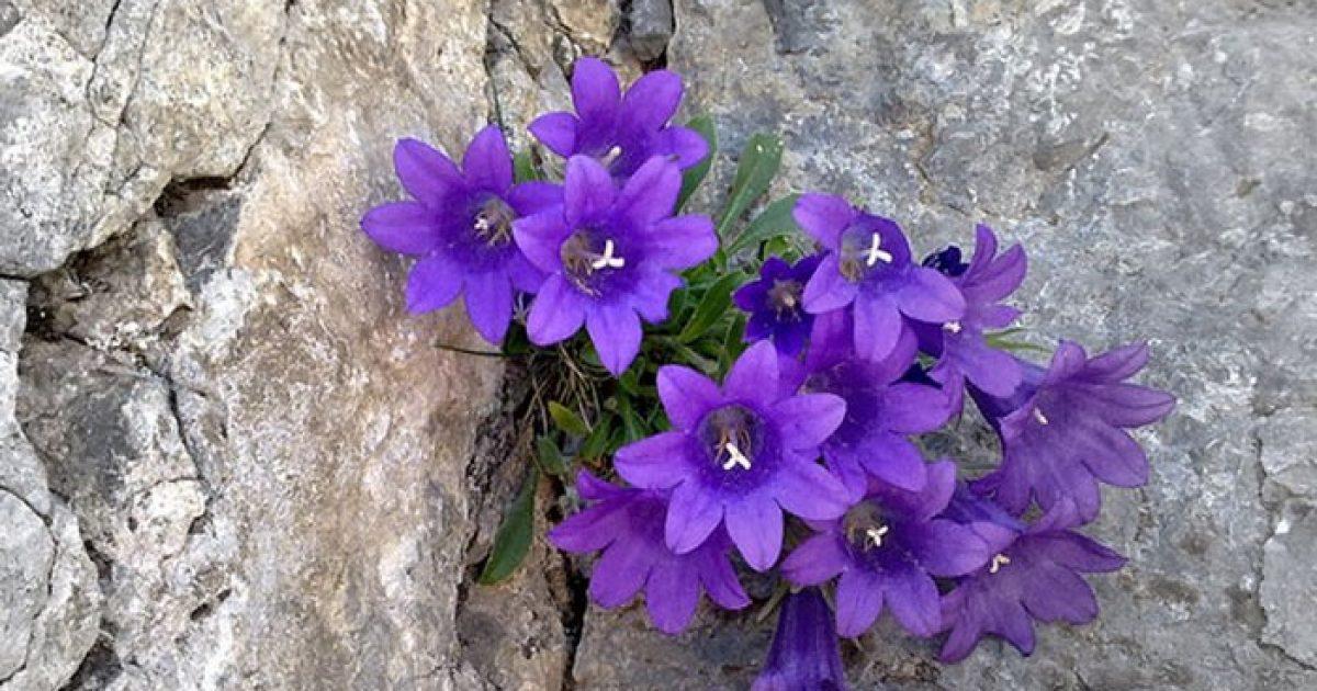 Στον Όλυμπο φύεται αποκλειστικά ένα μικρό μοβ λουλούδι