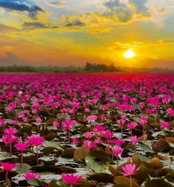 1000x650_red-lotus