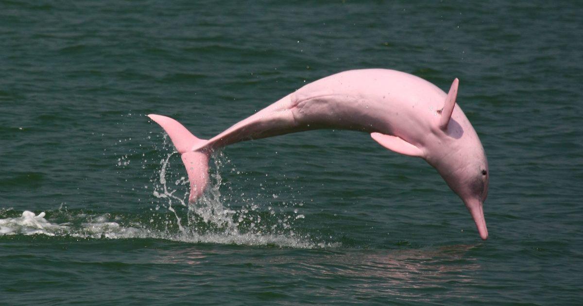 Η φωτογραφία της ημέρας: Ροζ δελφίνι κάνει βουτιές και παίζει με την μητέρα μου